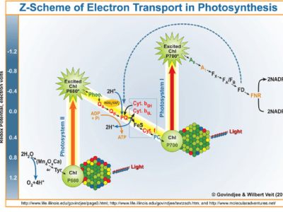 Z-Scheme-of-electron-transport-in-photosynthesis-by-Govindjee-and-Wilbert-Veit-2010